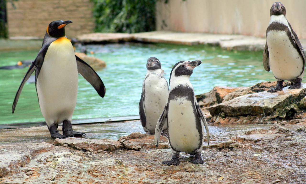 """Пингвины в парке птиц """"Воробьи"""" на вертолетной экскурсии от экскурсионного бюро """"Captour"""""""